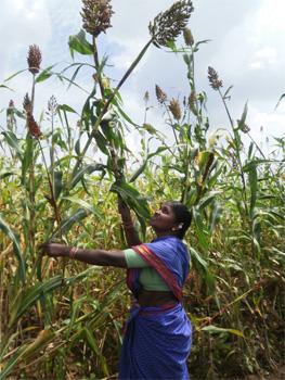 Laxmama på sitt milletsfält.
